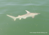 Tampa Bay shark fishing trips